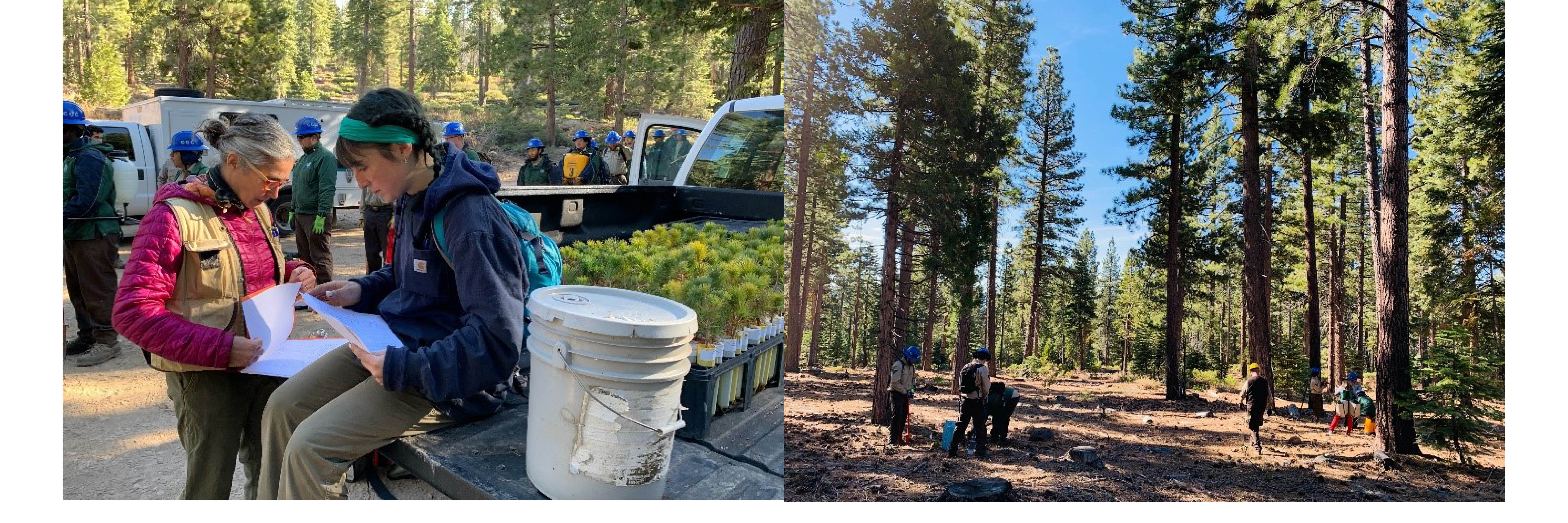In the field planting baby pines transported from the UC Davis TERC lath house