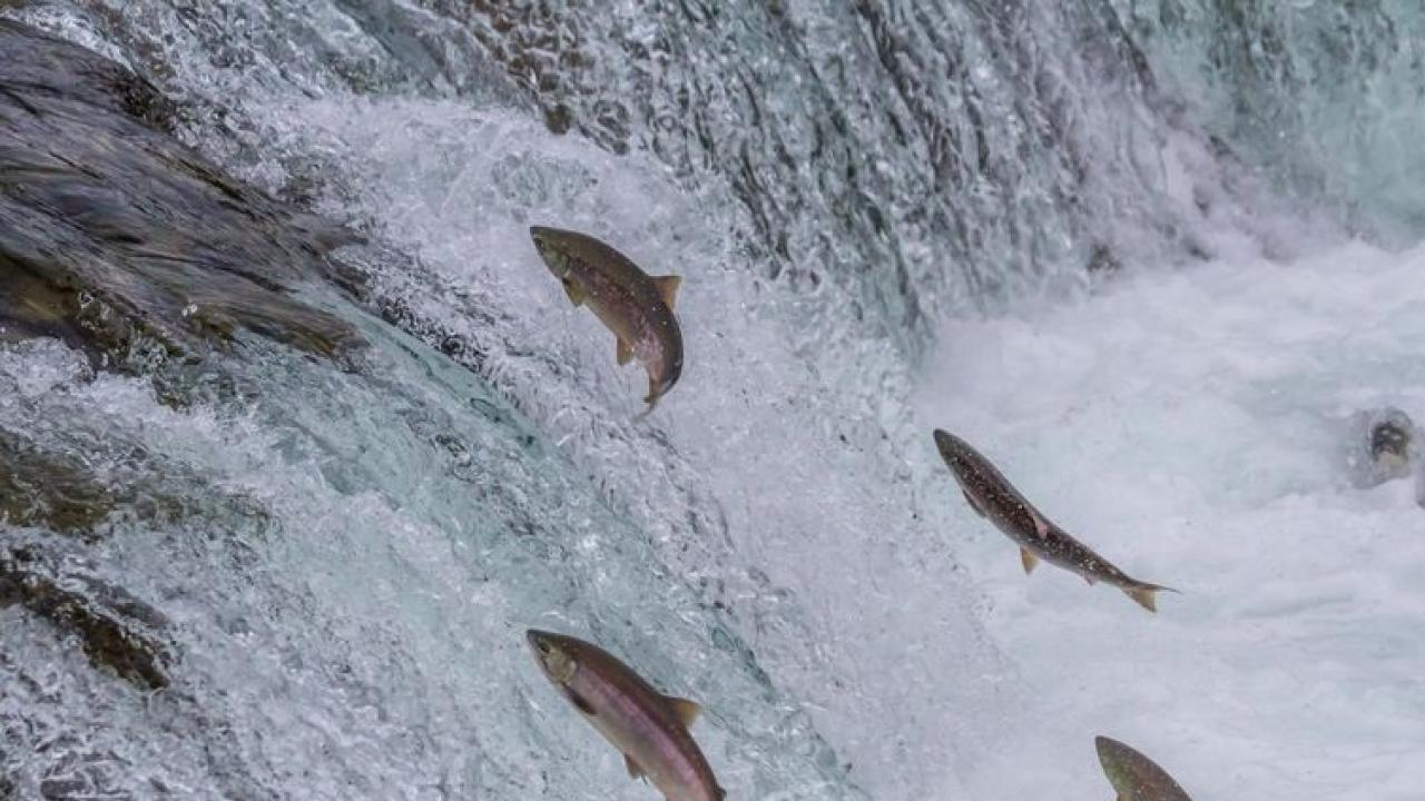 Salmon swimming upstream to spawn