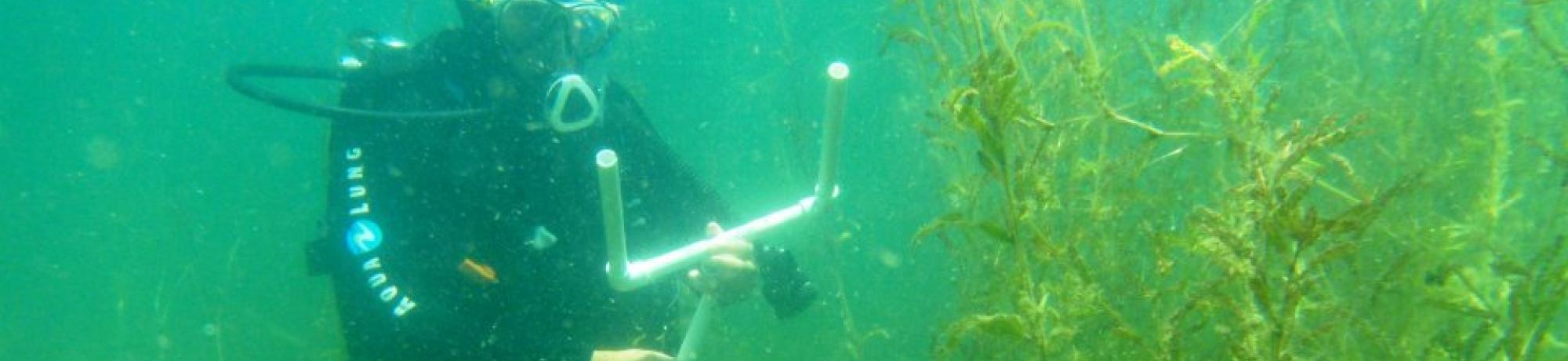 Research diver measuring curlyleaf pondweed